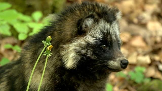 raccoon dog video
