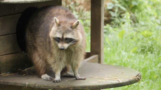 Raccoon sitting on platform, looking around video