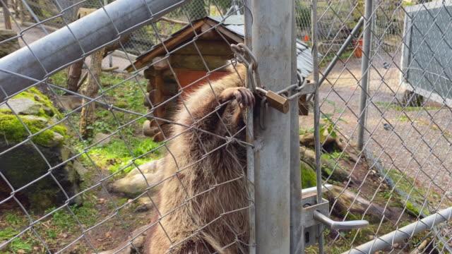 en tvättbjörn försöker bryta ut ur buren. djuret mår inte bra i fångenskap - fånga bildbanksvideor och videomaterial från bakom kulisserna