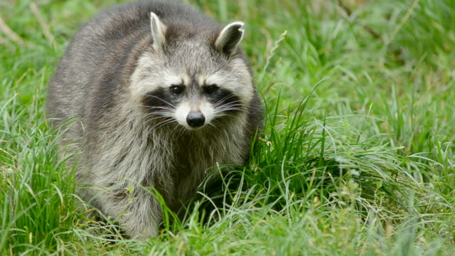 Raccoon walking through green grass video