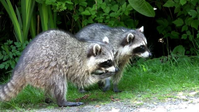 Raccoon stock videos