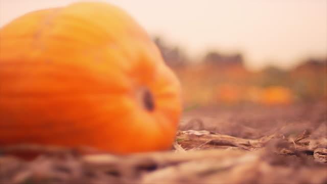 Rack focus of pumpkins at a pumpkin patch