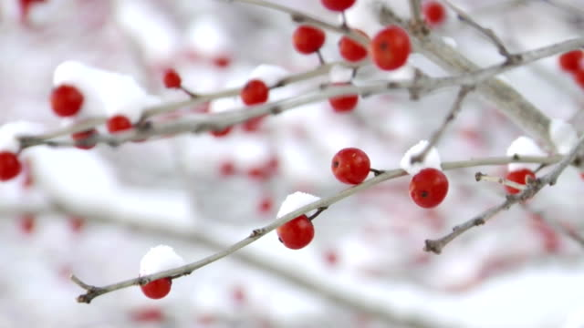 rack focus su winterberries - bacca video stock e b–roll