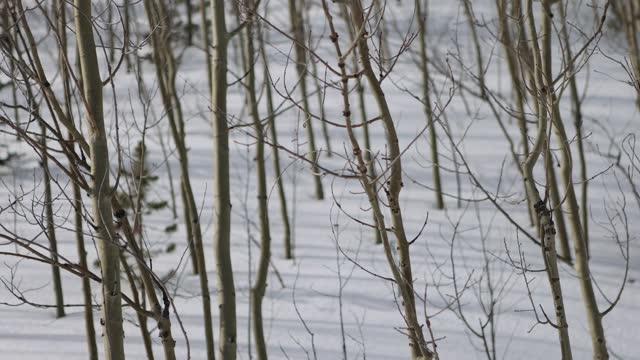 vídeos de stock, filmes e b-roll de rack focus através de aspens em snowy colorado - aspen colorado