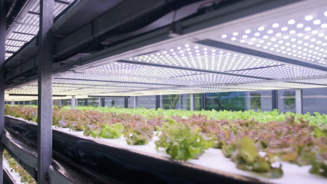 Racks of Cultivated Living Lettuce at Indoor Vertical Farm video