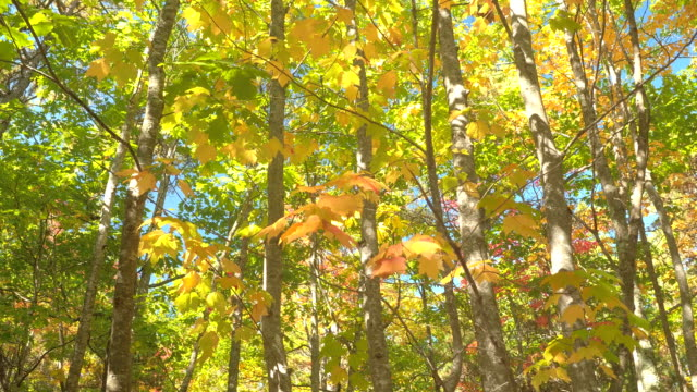 LOW ANGLE: Radiant fall foliage tree canopies against blue sky in sunny autumn video