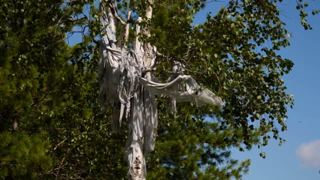 Rags and skins on birch trees. Tradition of reading perfume in people of Khanta. Excellent spiritual forces and rituals.