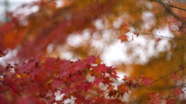 Rain drop background, Autumn at Japan, Maple is change the color to seasonal