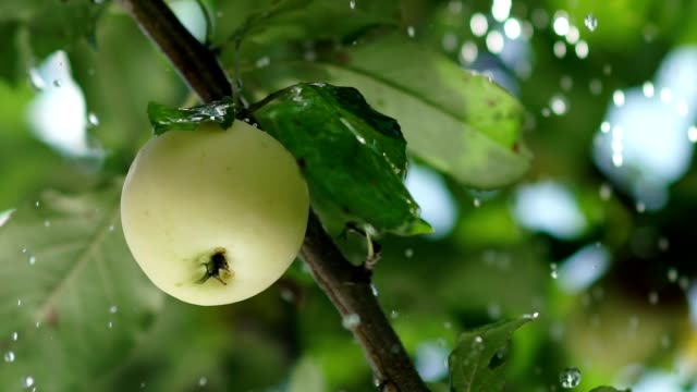 Rain drops fall on the apple and the tree leaves. Apple orchard