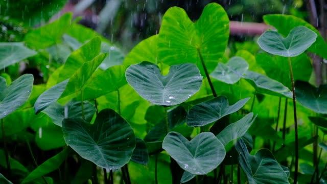 Rain drops on a heart shaped leaf, rainy day