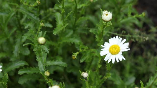 Rain drops on beautiful white blooming chamomile video