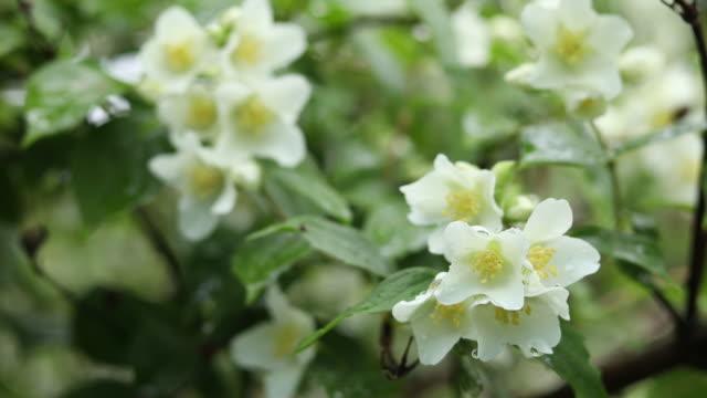 Rain drops on beautiful white blooming Jasmine, buds, blooming Philadelphus flowers video