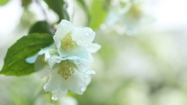 regentropfen auf schöne weiße blühende jasmin - jasmin stock-videos und b-roll-filmmaterial