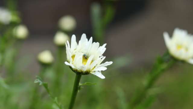 Rain drops on beautiful white buds chamomile with bug video