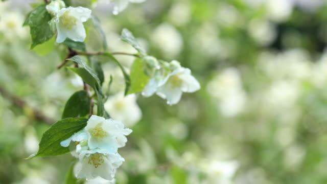 Rain drops on branch beautiful white blooming Jasmine, buds, Mock orange in the garden. video