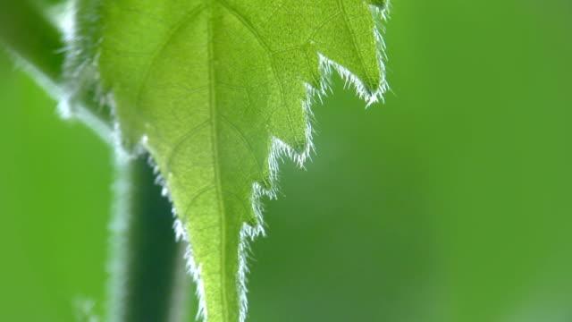 vidéos et rushes de gouttes de pluie sur les feuilles vertes. - nervure