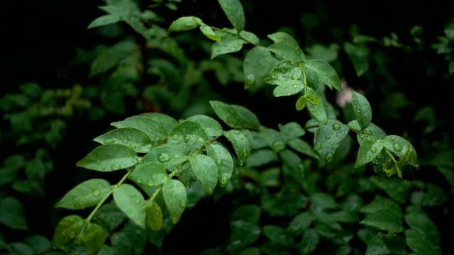 Rain Drops On Green Leaves video