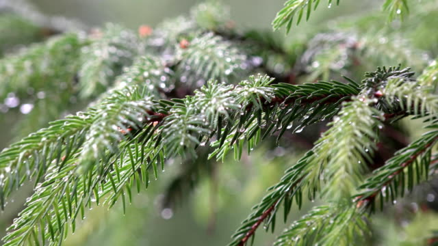 Rain falling on coniferous fir tree branch covered with water droplets. FullHD video