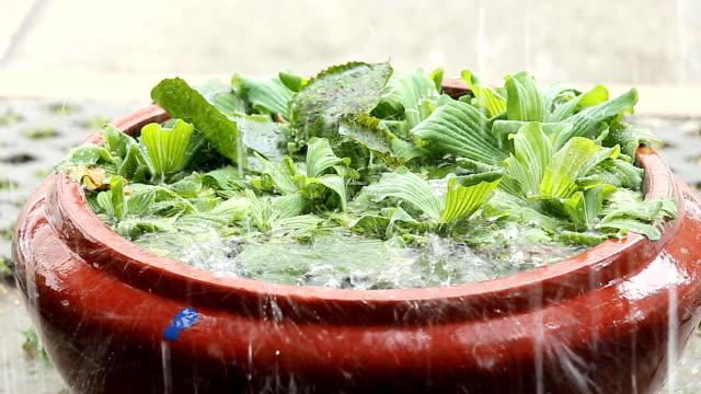 Rain falls in the water lettuce basin. Rain falls in the water lettuce basin duckweed stock videos & royalty-free footage