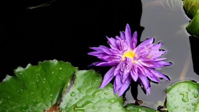 rain on lotus