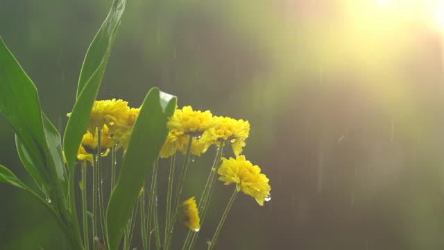 stockvideo's en b-roll-footage met regen op gele bloem ii traag - regen zon