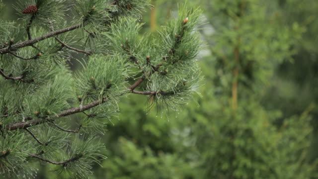 Rain over pine tree - close up video