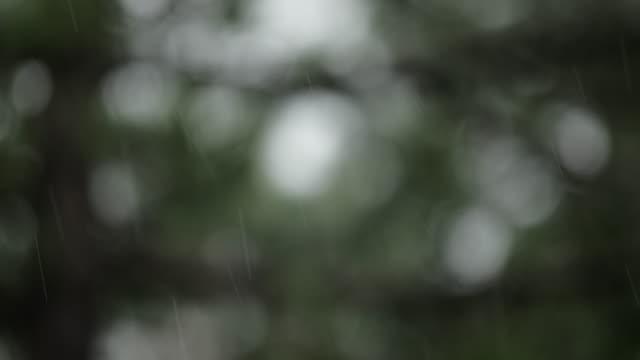 Rain over pine tree - defocused video