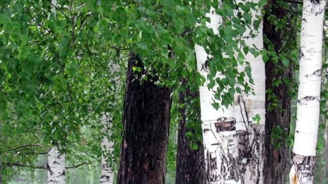 rain trees birch leaves branch video