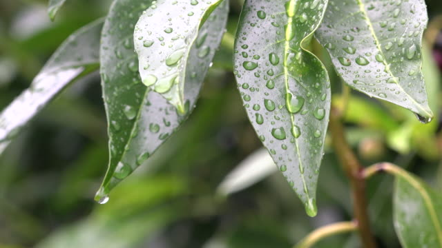 Rain water drops on green plant leaf