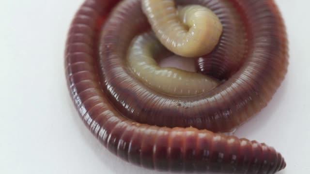 rain worm closeup on a white background
