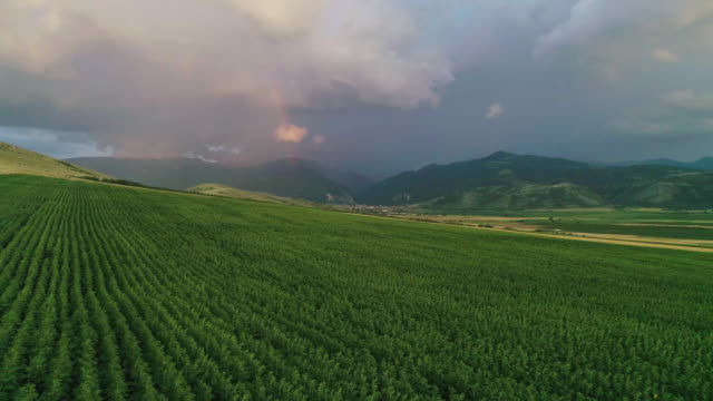 Rainbow in the sky. Aerial view of a big storm cloud over sunflower field. Thunderstorm coming closer.