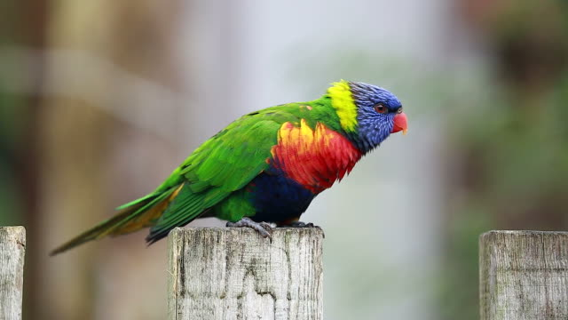 Rainbow Lorikeet Perched on a Wooden Post video