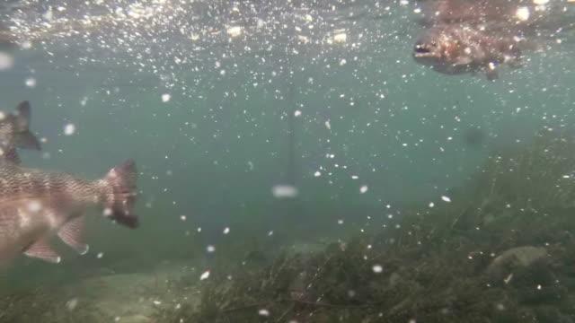 trota iridea nutrizione - trout video stock e b–roll