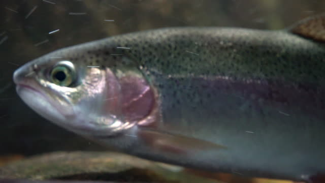 vídeos de stock e filmes b-roll de rainbow trout underwater swimming in stream - peixe