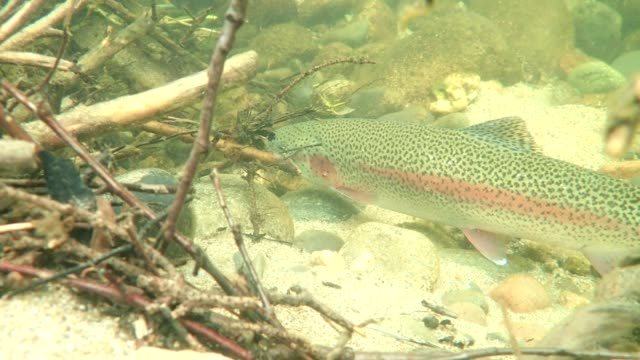 rainbow trout - trout video stock e b–roll