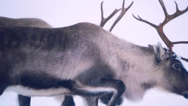 vídeos y material grabado en eventos de stock de raindeer en bosque escarchado nevado - reno mamífero