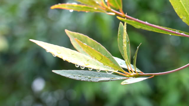 Raindrop in the tropical forest Raindrop in the tropical forest on leaves vascular plants stock videos & royalty-free footage
