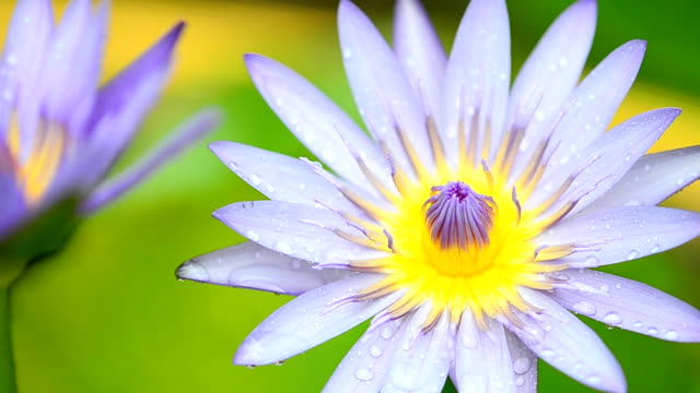 Raindrop on lotus