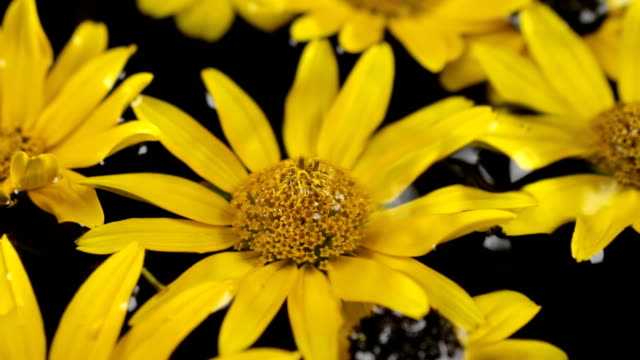 Raindrops are falling on floating in water yellow daisy. Beautiful video