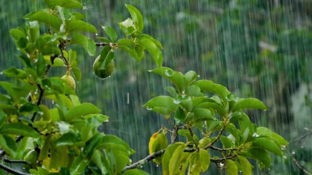 Raindrops falling on avocado tree video