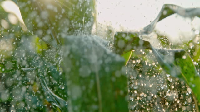 SUPER SLO MO Raindrops falling on green leaves of corn plants