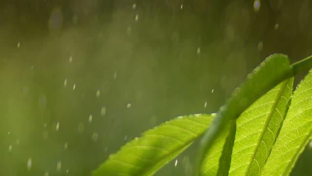 HD Raindrops Falling on Leaf Closeup. Raindrops falling on leaf macro  Shot with LEICA Apo-Summicron-R 180mm f/2 lens. wasser videos stock videos & royalty-free footage