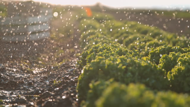 SUPER SLO MO Raindrops falling on lettuce growing on a field