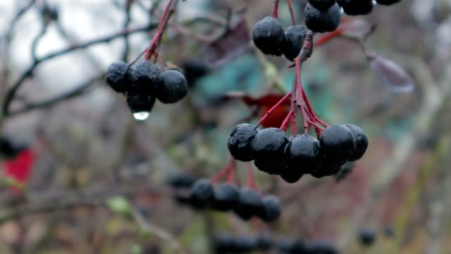 raindrops on black rowan berries in late autumn, close-up - bacca video stock e b–roll