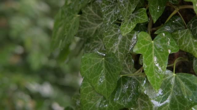 담쟁이 잎에 빗방울. 젖은 아이비 잎. - 아이비 스톡 비디오 및 b-롤 화면