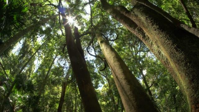 regnskog djungel vildmark naturliga ekosystem miljö filmisk dolly shot - eucalyptus leaves bildbanksvideor och videomaterial från bakom kulisserna