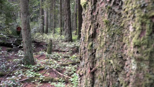 Rainforest, Pacific Northwest dolly shot 4K, UHD