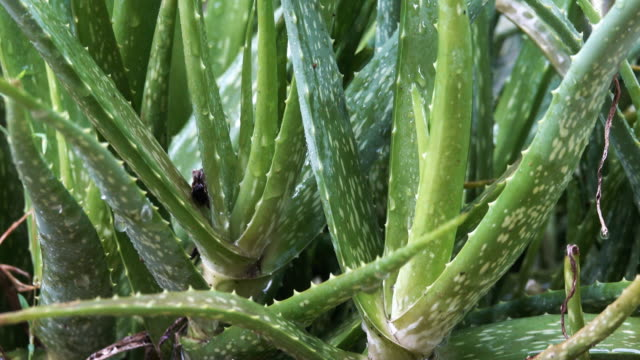 Raining on aloe vera plant video