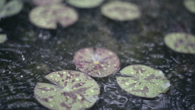 Raining on green lotus leaves