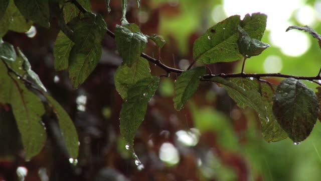 stockvideo's en b-roll-footage met raining on tree leaves - minder dan 10 seconden